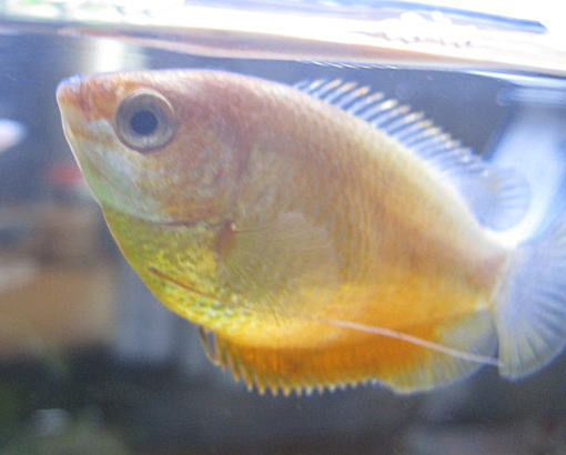 flame red dwarf gourami